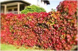 Вьющиеся лианы для сада фото и названия