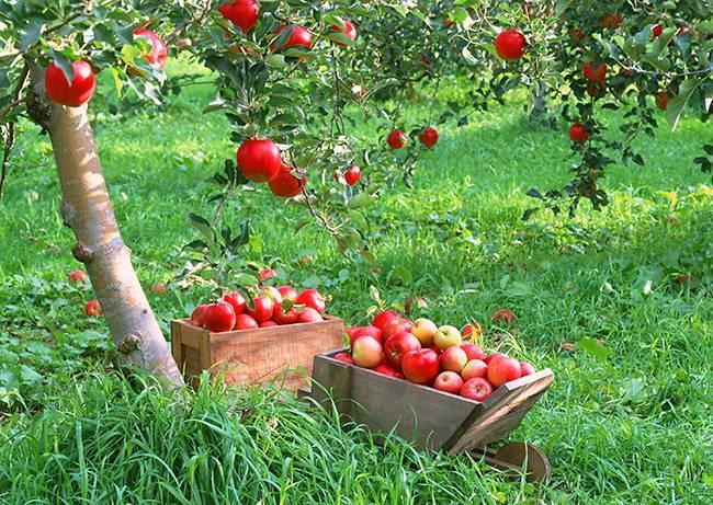 Как обрезать старые яблони осенью видео