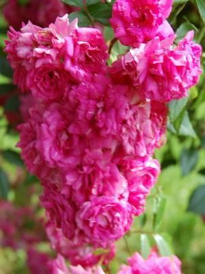 Каталог сортов роз с описанием и фото
