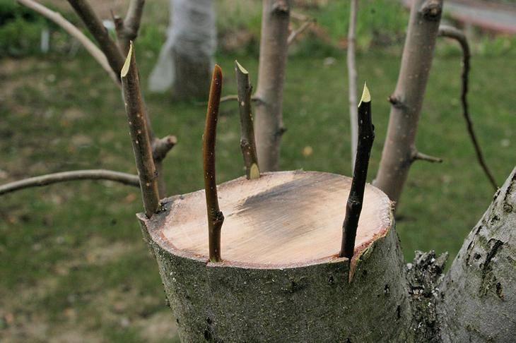 к какому дереву можно привить яблоню