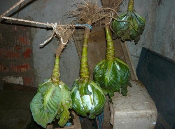 Как правильно хранить капусту зимой в погребе