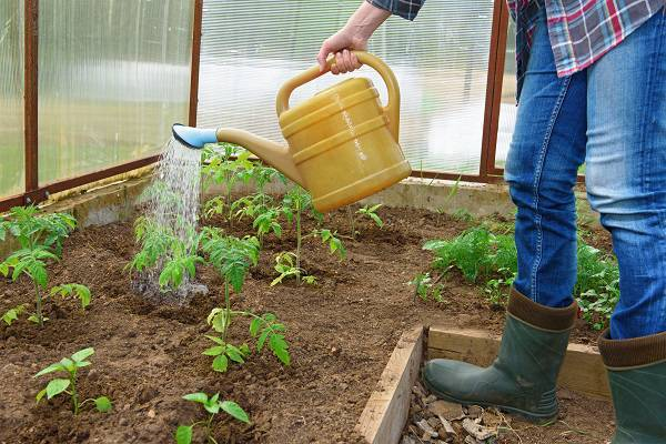 Подвязка помидоров в теплице