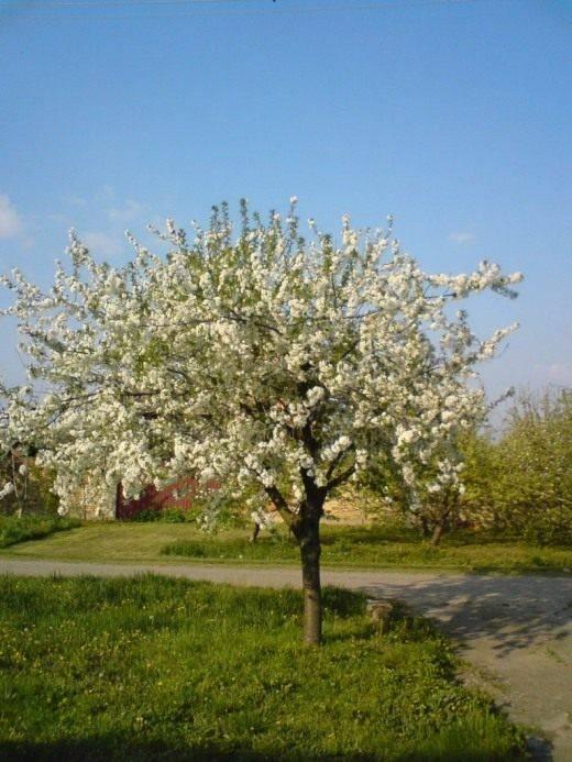 Черри вишня дерево