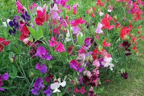 Цветы - однолетники для клумбы : фото с названиями