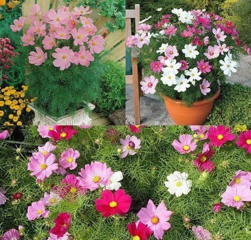 Однолетние цветы : 100 фото и названия однолетники для дачи и сада