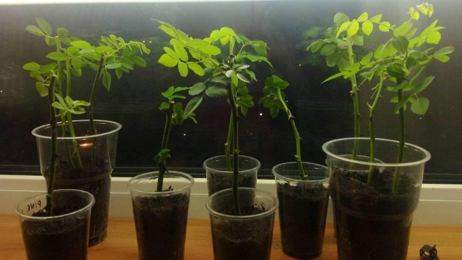 Размножение розы черенками в картошке