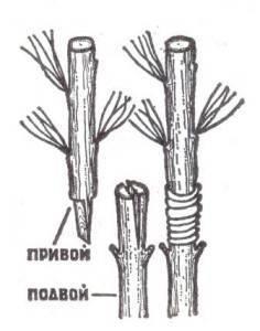 Размножение сосны черенками