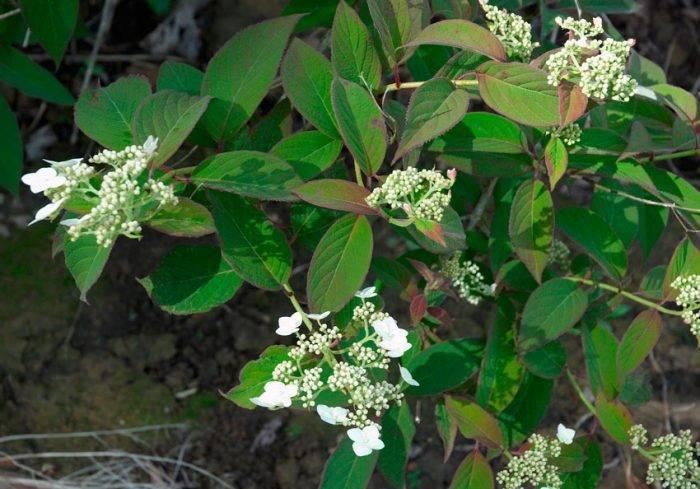 Гортензия метельчатая hydrangea paniculata