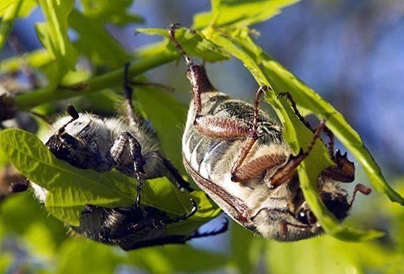 Майский жук борьба