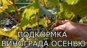 Чем удобрять виноград на зиму