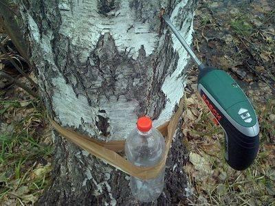 Как правильно собирать березовый сок