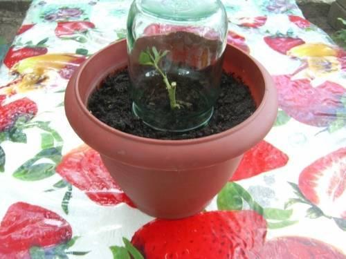 Как посадить розу из черенка дома