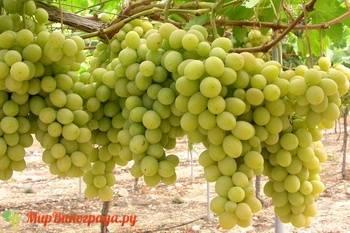 Самый сладкий сорт винограда