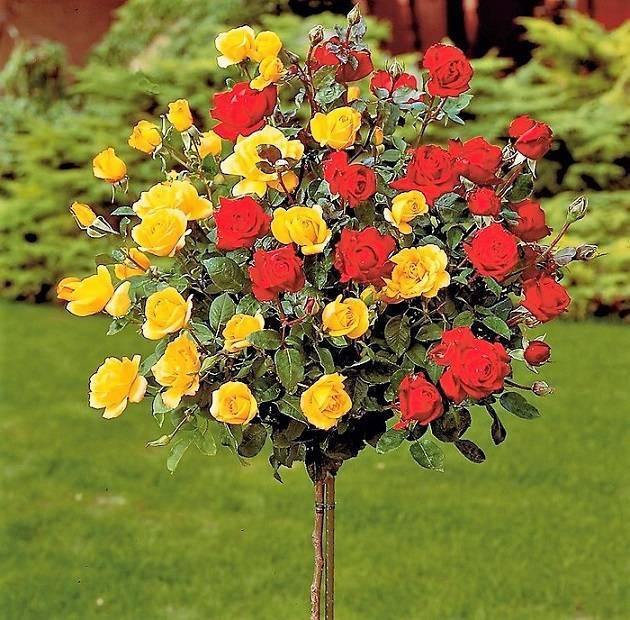 Очень много роз
