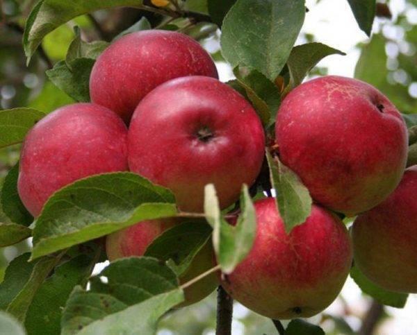 Супер прекос яблоня описание фото