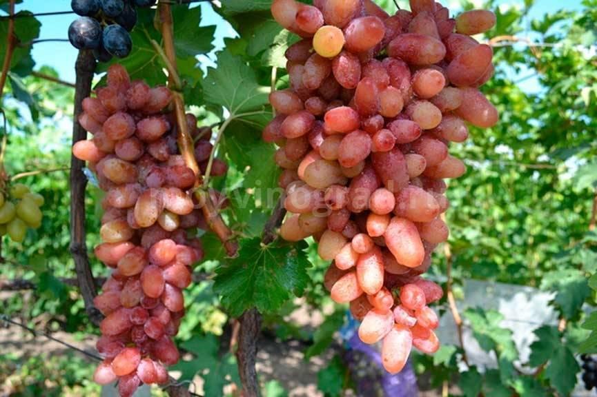 Виноград ватикан описание сорта фото