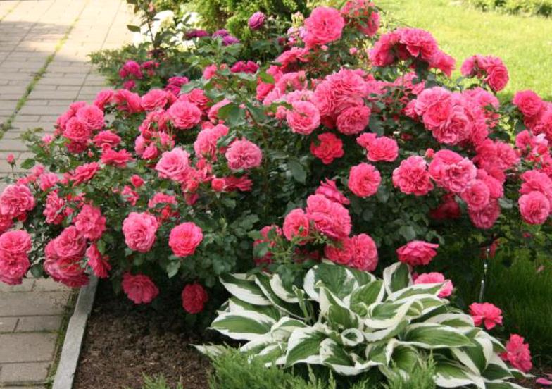 Обрезка роз осенью для начинающих на зиму