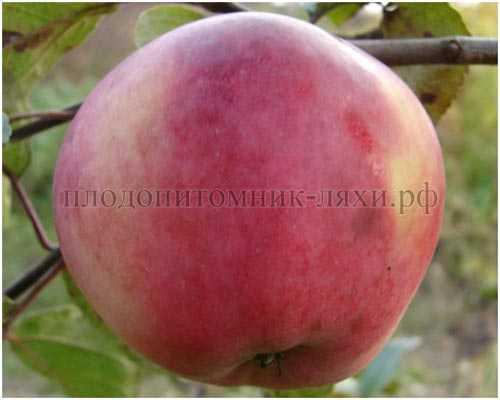 Яблоки со вкусом клубники