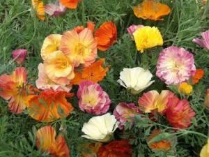 Однолетники цветущие все лето фото с названиями