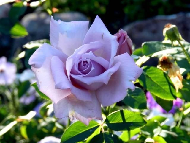 Плетущиеся розы фото
