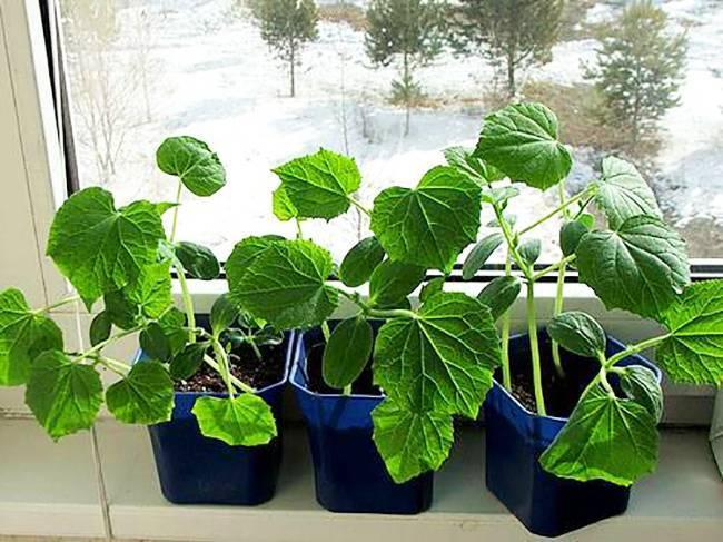 Какие сорта огурцов можно выращивать на подоконнике