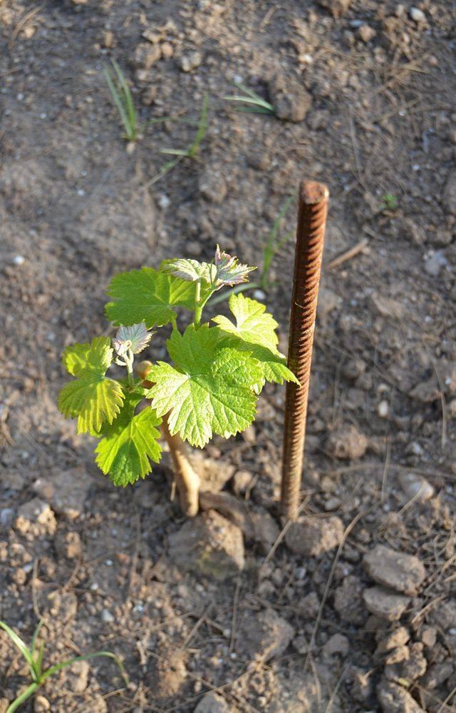 Правильная посадка винограда осенью