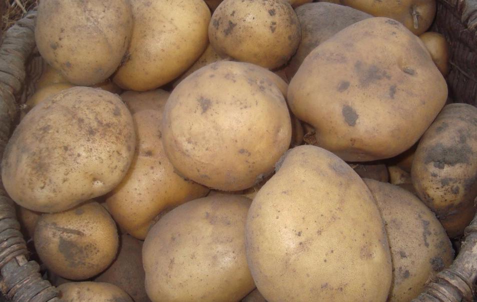 Сорти картоплі характеристика з фото