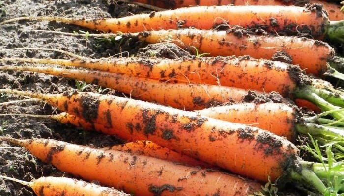 Урожайные сорта моркови