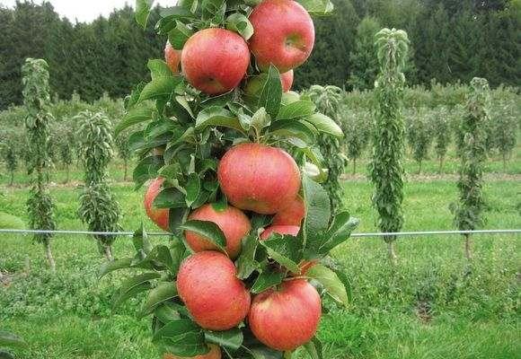 Посадка колоновидных яблонь осенью