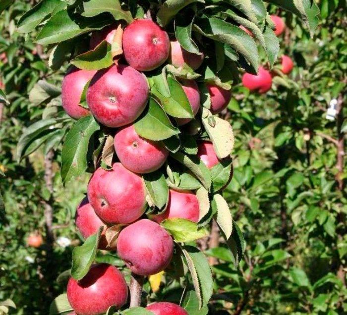 На каком расстоянии сажать колоновидные яблони