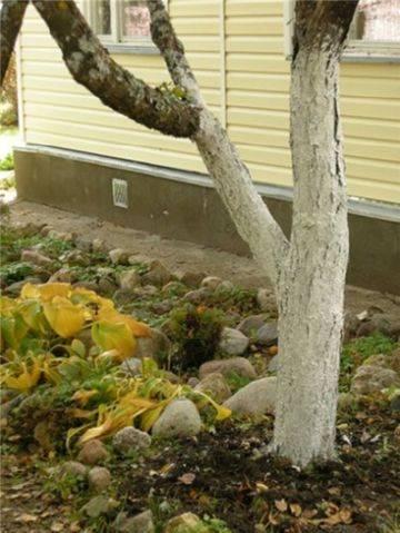Как разводить известь для побелки деревьев пропорции