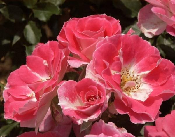 Морозостойкие розы для подмосковья