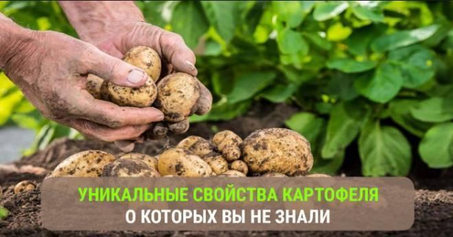 Картофель овощ