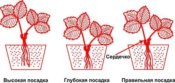 Как рассадить клубнику весной