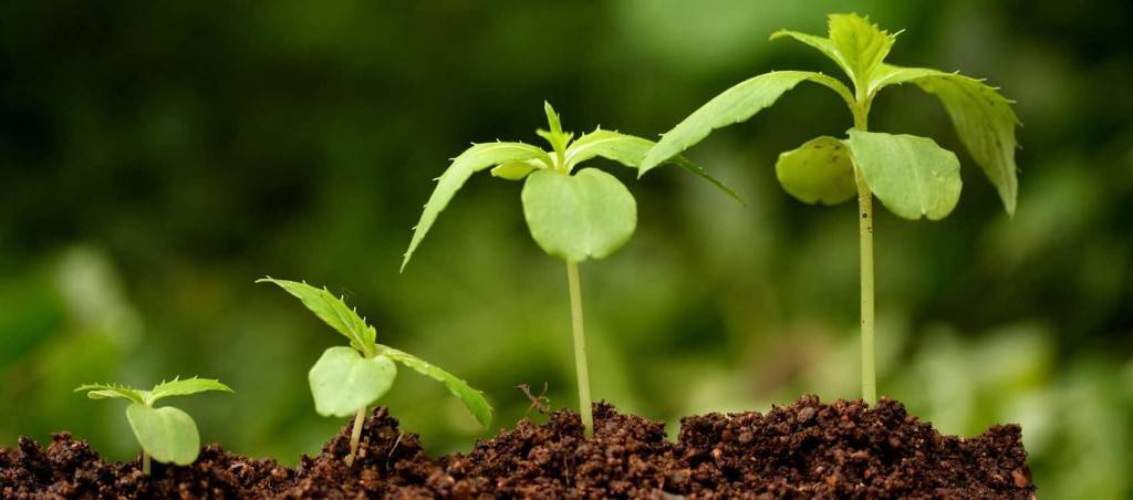 Стимулятор роста корней в домашних условиях
