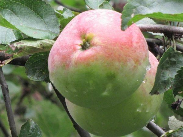 Мелкие яблоки