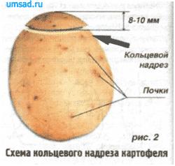 Размножение картофеля ростками