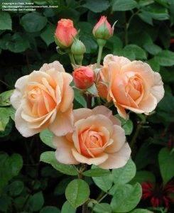 Роза эвелин висонт