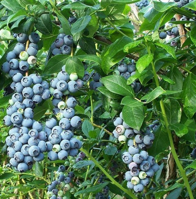 Blueberry ягода