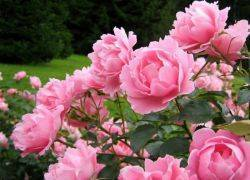 Когда цветут пионы месяц