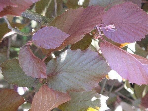 Посадка лещины осенью