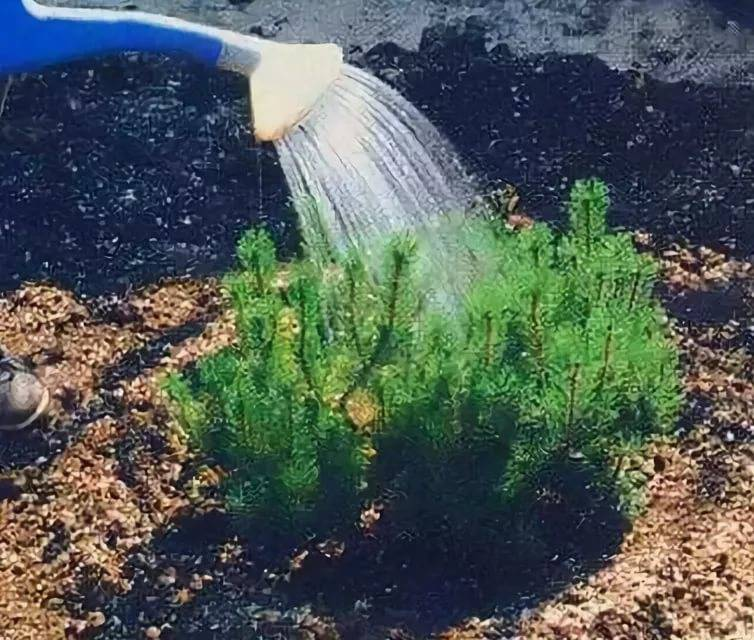 как поливать хвойные растения осенью
