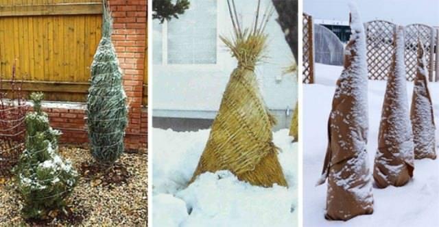 Подготовка хвойников к зиме