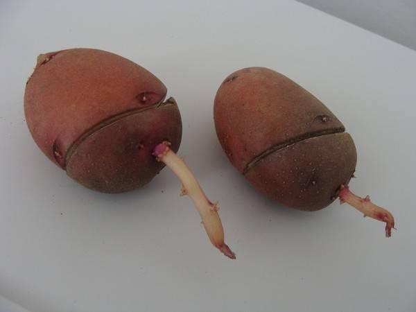 Картофель выращивание большого урожая