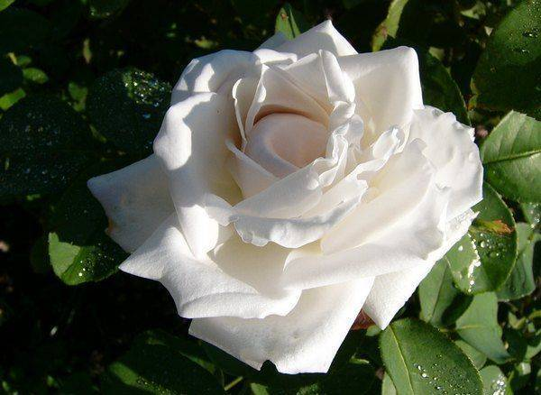 Сообщение про цветок роза