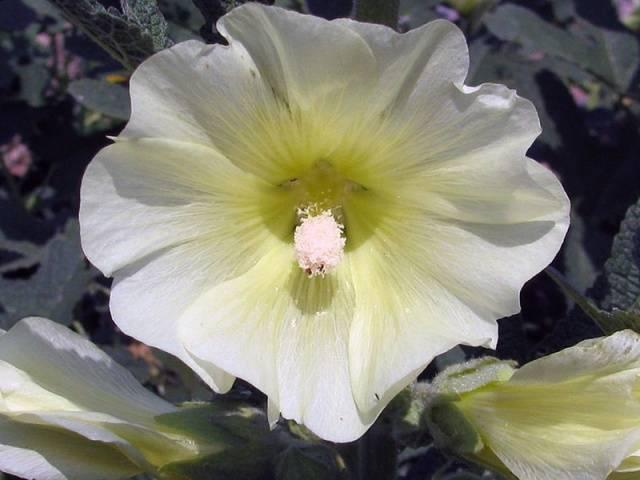 Высокие многолетние цветы