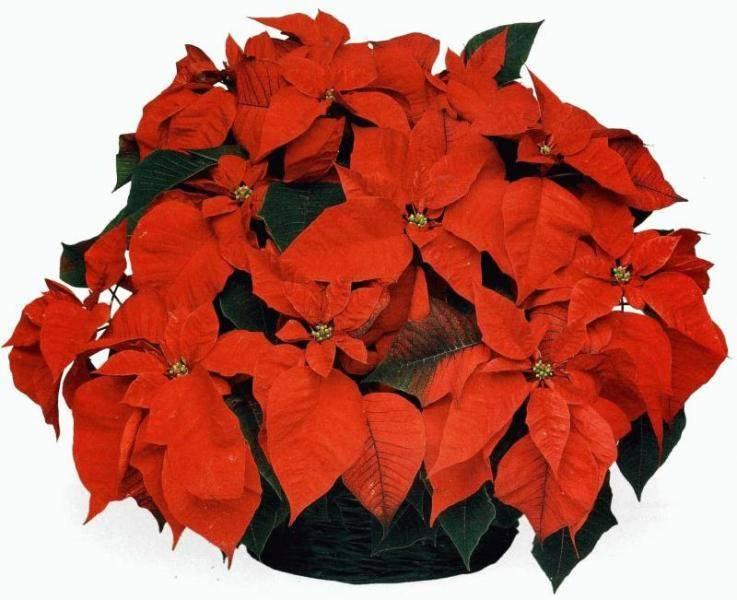 Почему не цветет рождественская звезда