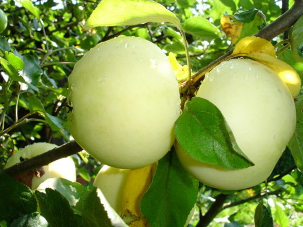 Зимостойкие сорта яблонь для сибири