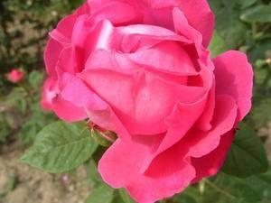 Размеры роз