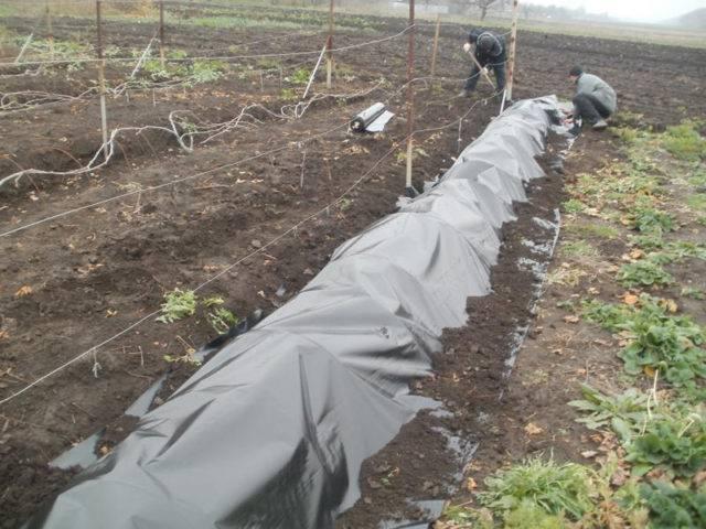 Посадка винограда чубуками осенью видео